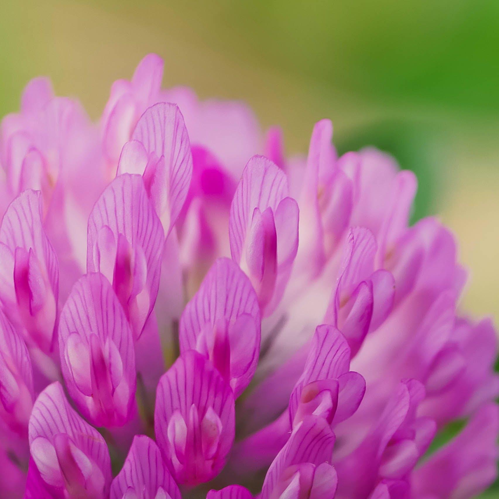 Free stock photo of beautiful, beautiful flowers, closeup, clover