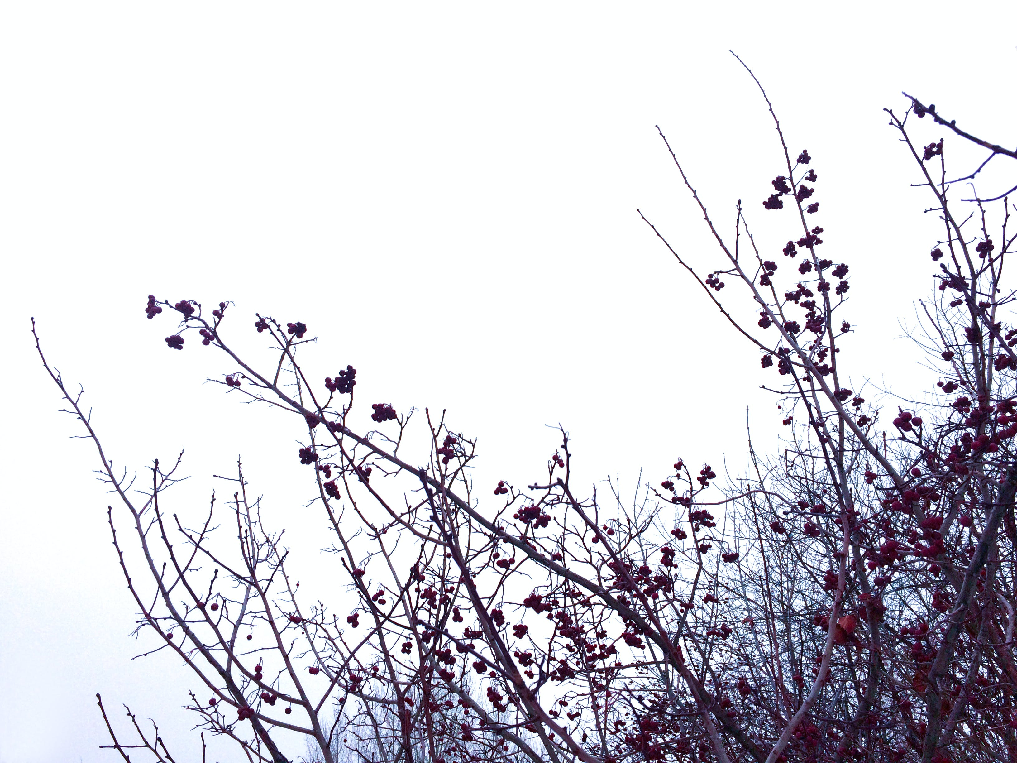 Free stock photo of berries, branches, clear sky, cold