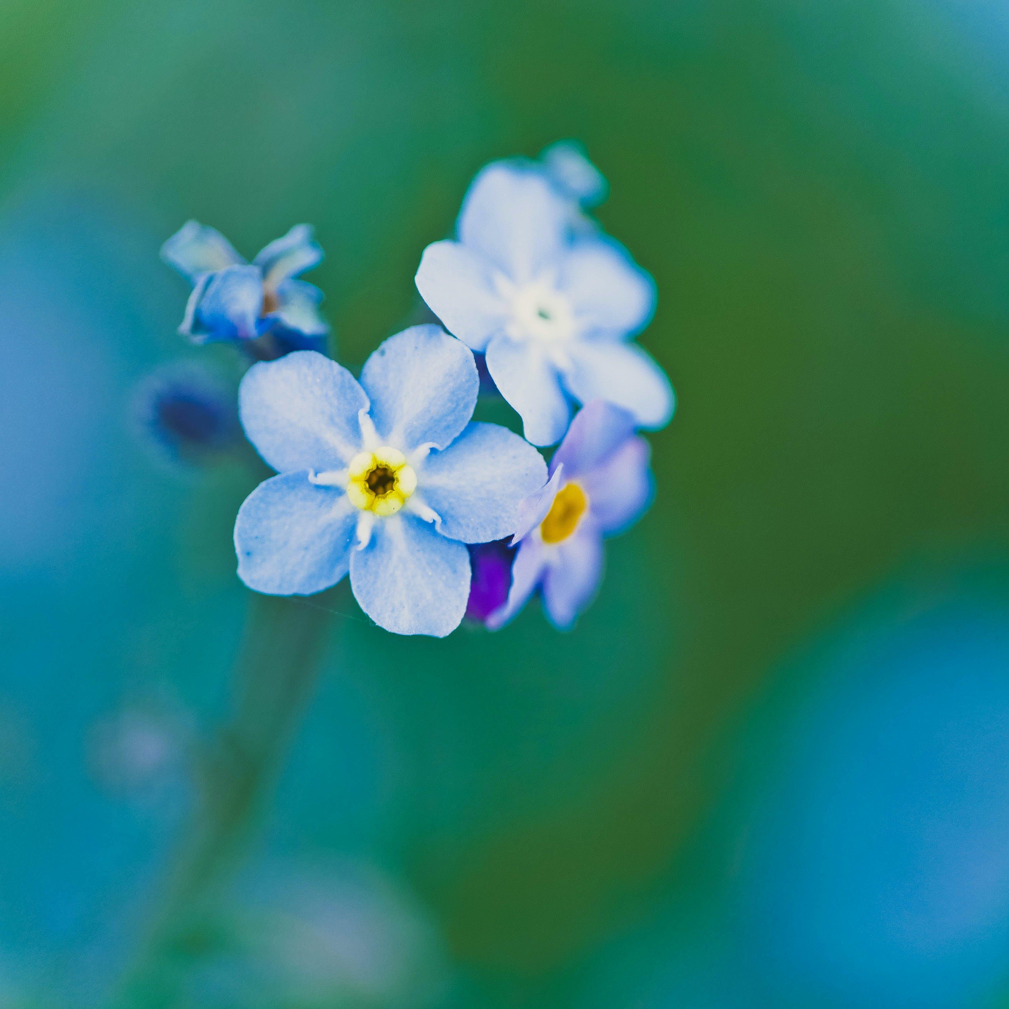 Kostenloses Stock Foto zu blau, blühen, blumen, blüte