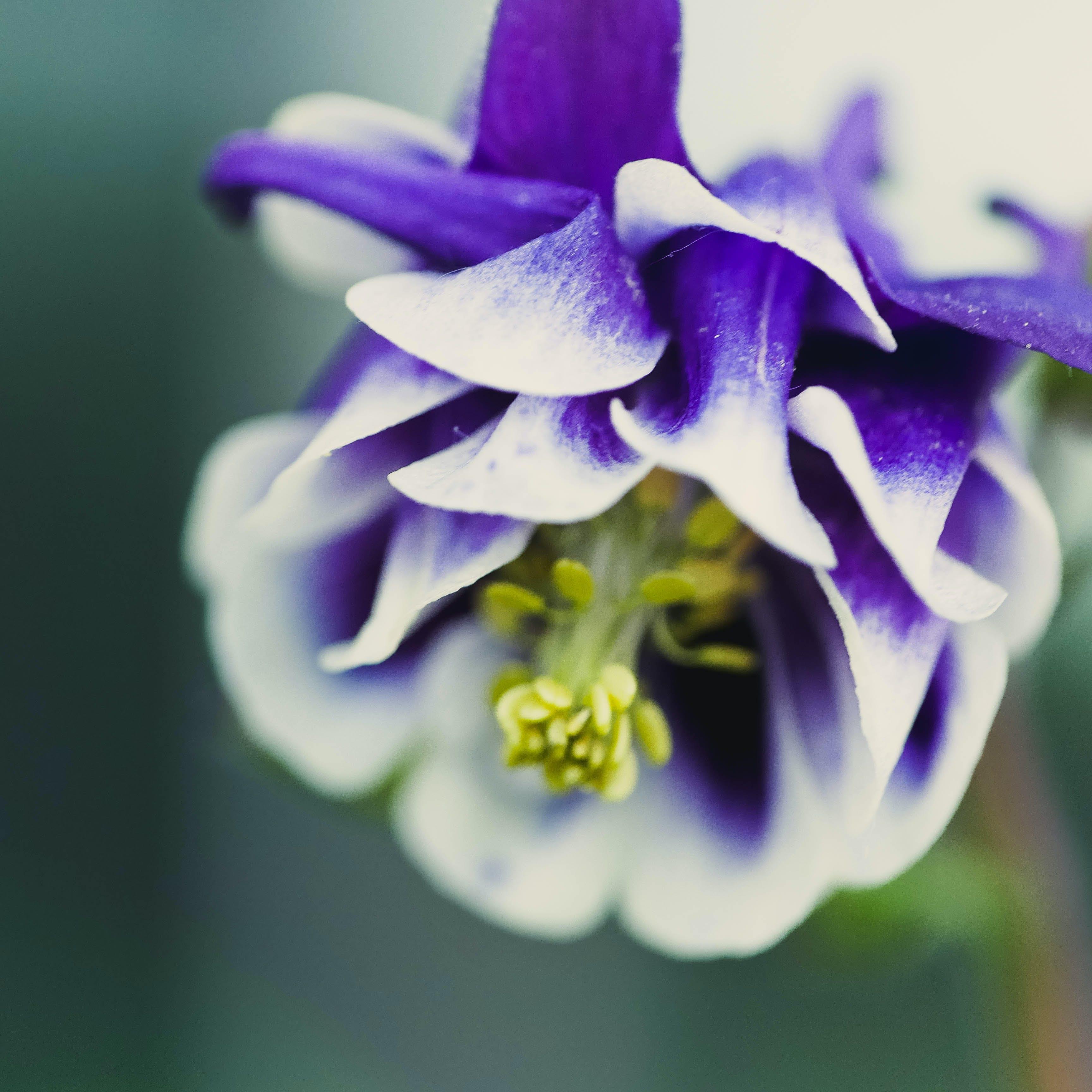 Kostenloses Stock Foto zu blume, hübsch, lila, makro