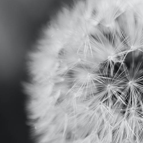 Gratis arkivbilde med blomst, delikat, frø, hvit