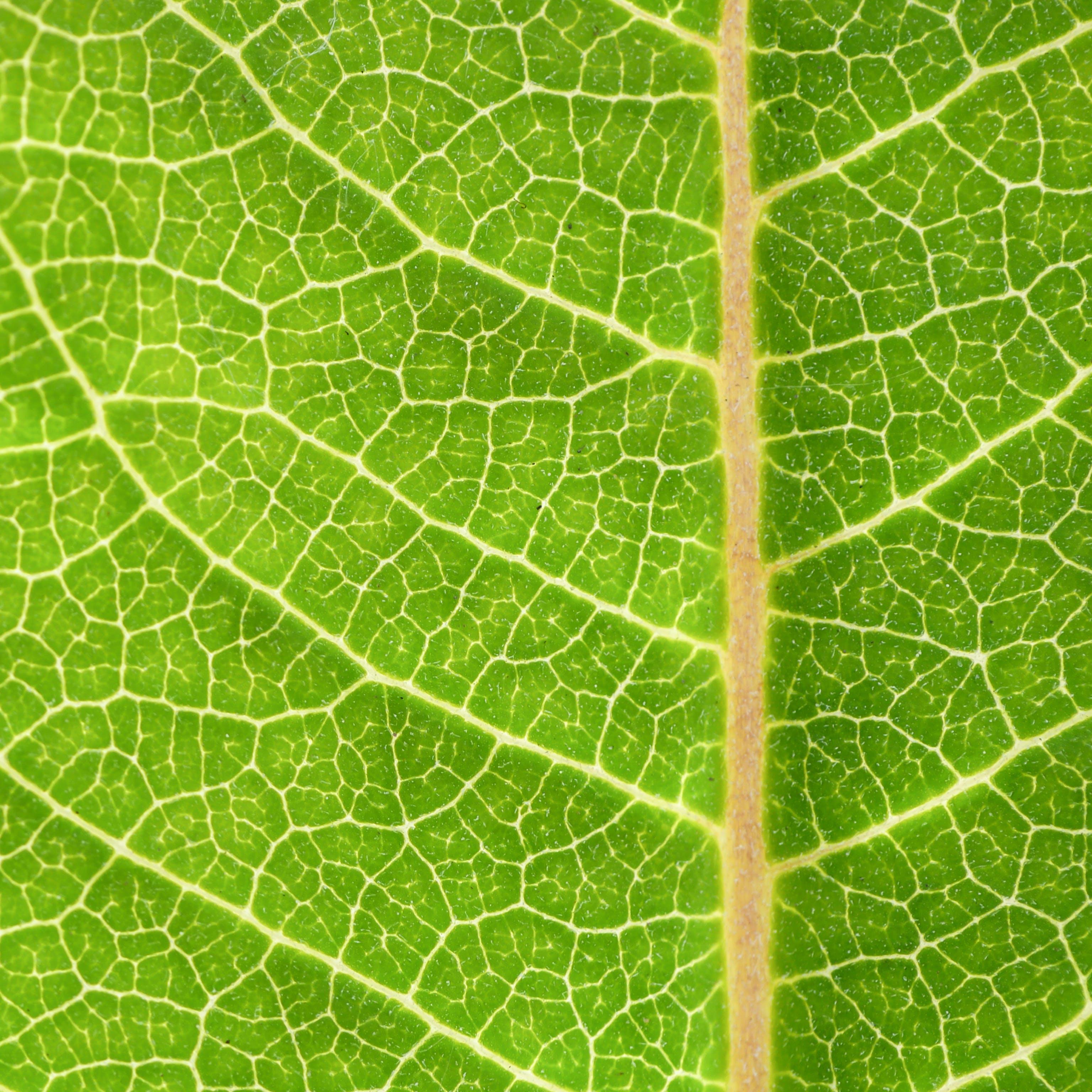 Kostenloses Stock Foto zu frisch, grün, grünes blatt, nahansicht