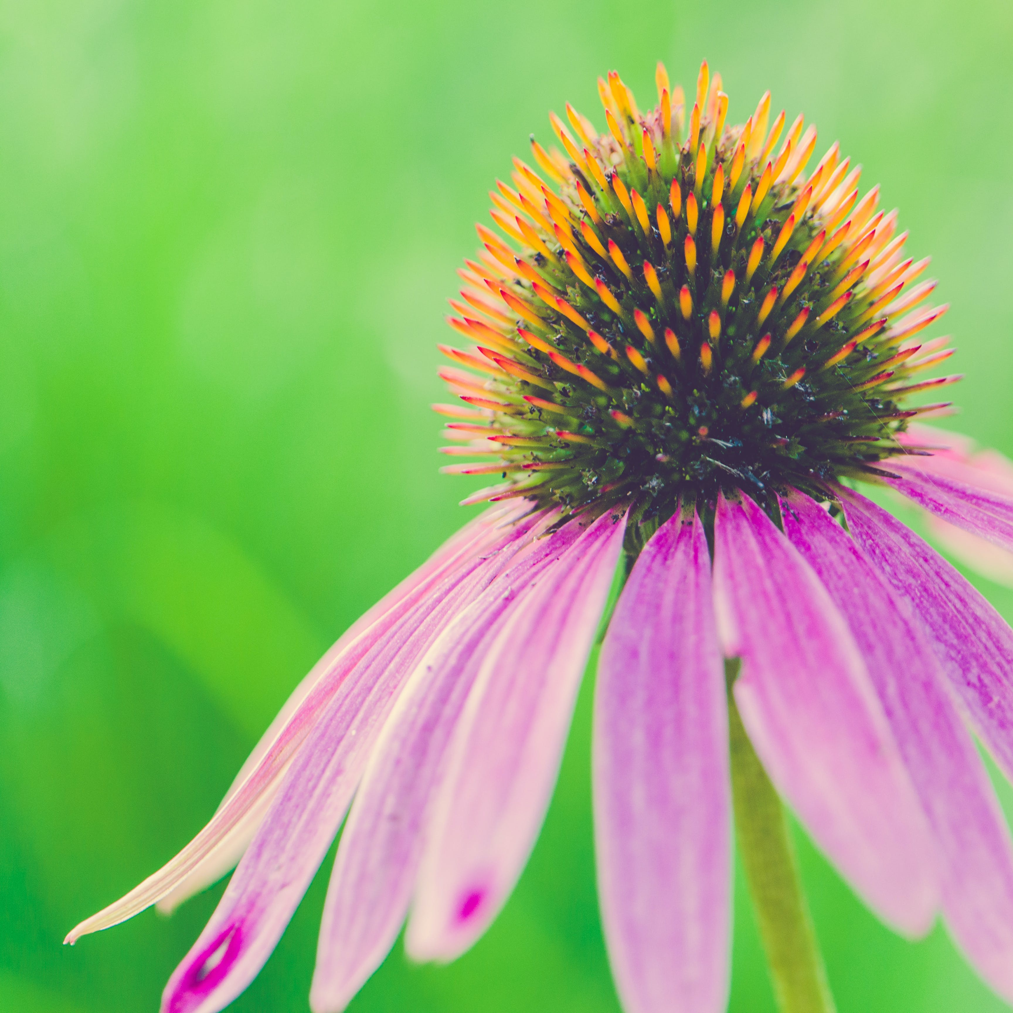 về cận cảnh, cánh hoa, chụp ảnh thiên nhiên, coneflower