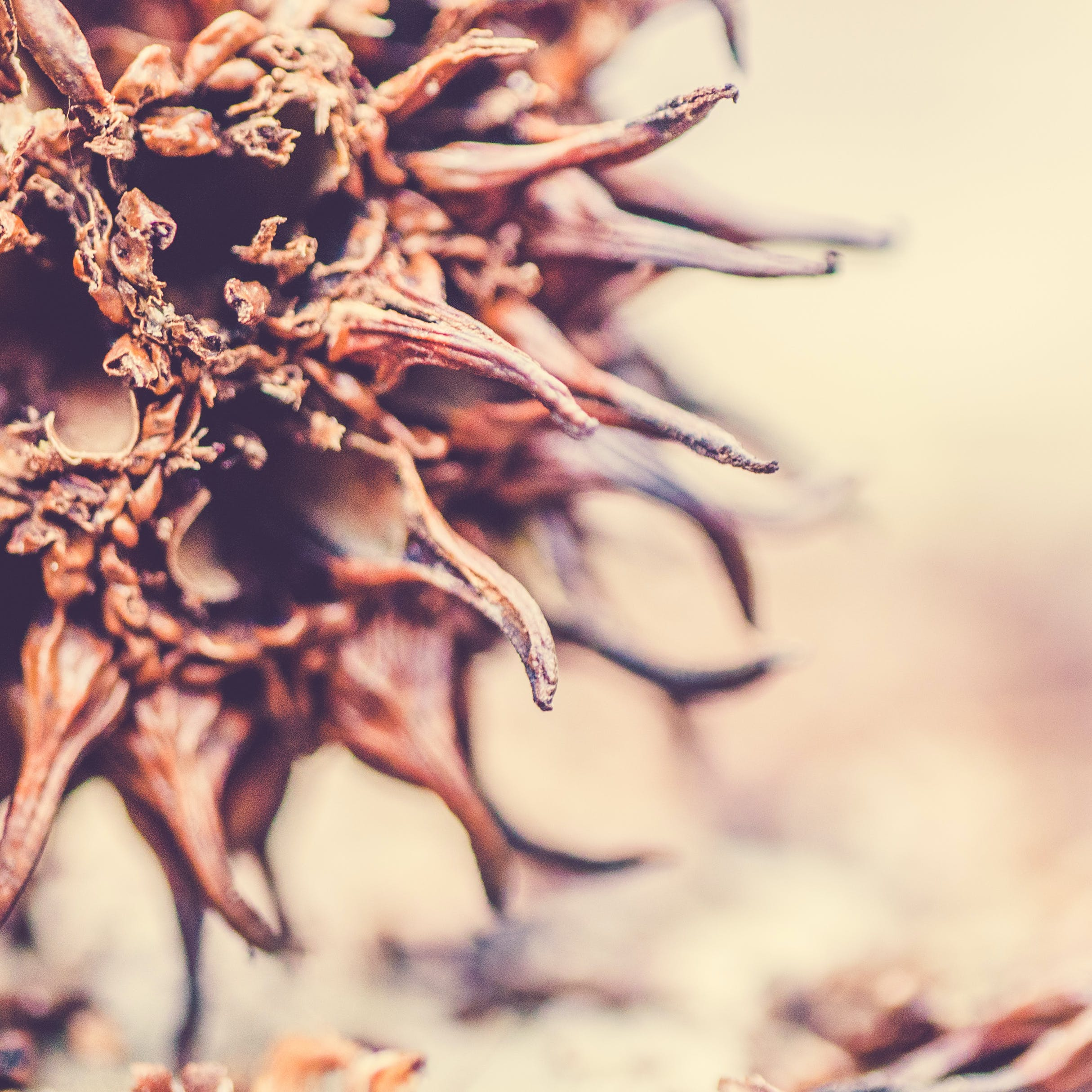 Kostenloses Stock Foto zu baum saatgut, braun, florida, gum tree