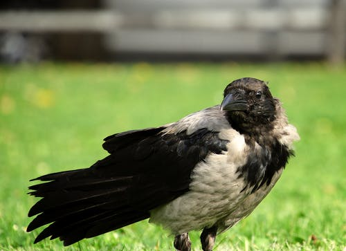 Free stock photo of crow
