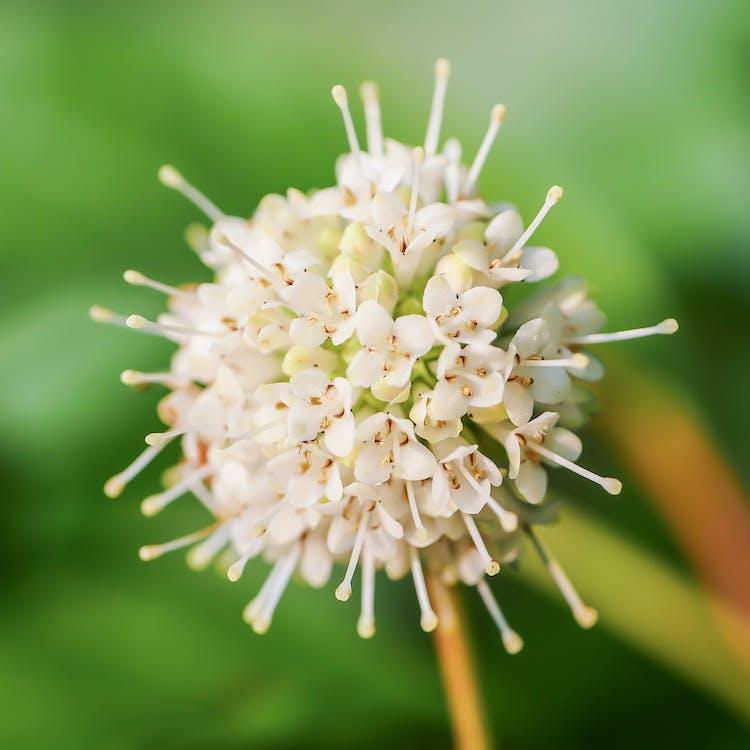 buttonbush, cephalanthus occidentalis, detailný záber