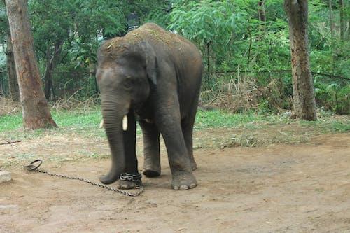 Free stock photo of elephantphant, forest