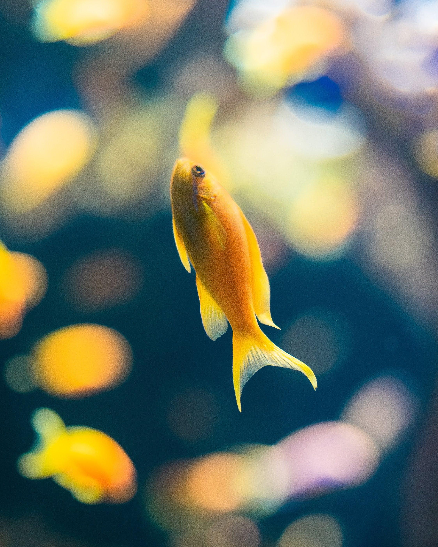 aquarium, fisch, gelb