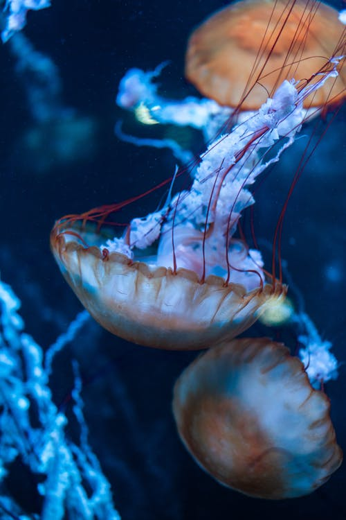 Jellyfish Underwater Photography