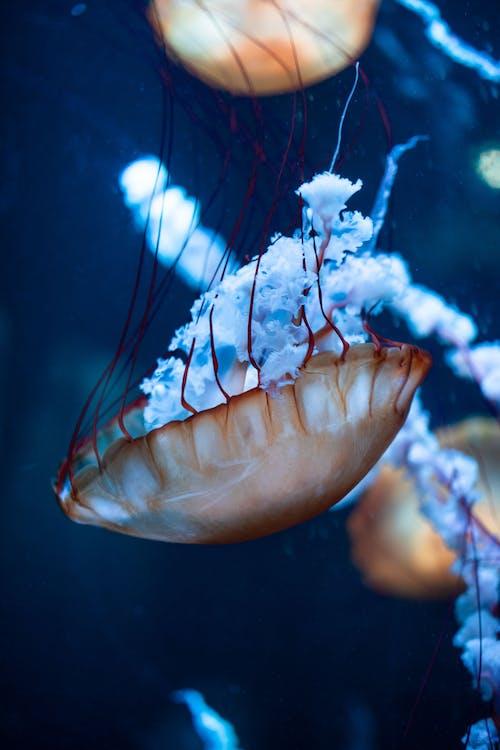Brown Jellyfish Underwater Photography