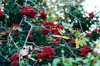 nature, red, shrub