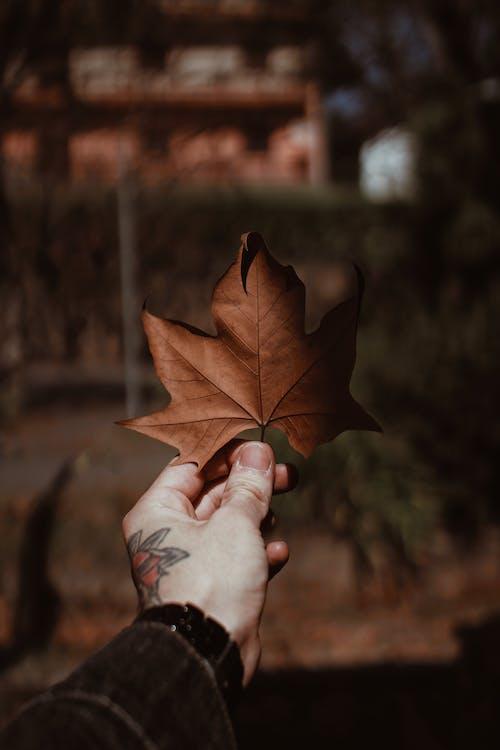 季節, 楓葉, 模糊