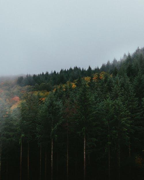 原本, 常綠, 森林, 樹 的 免费素材照片