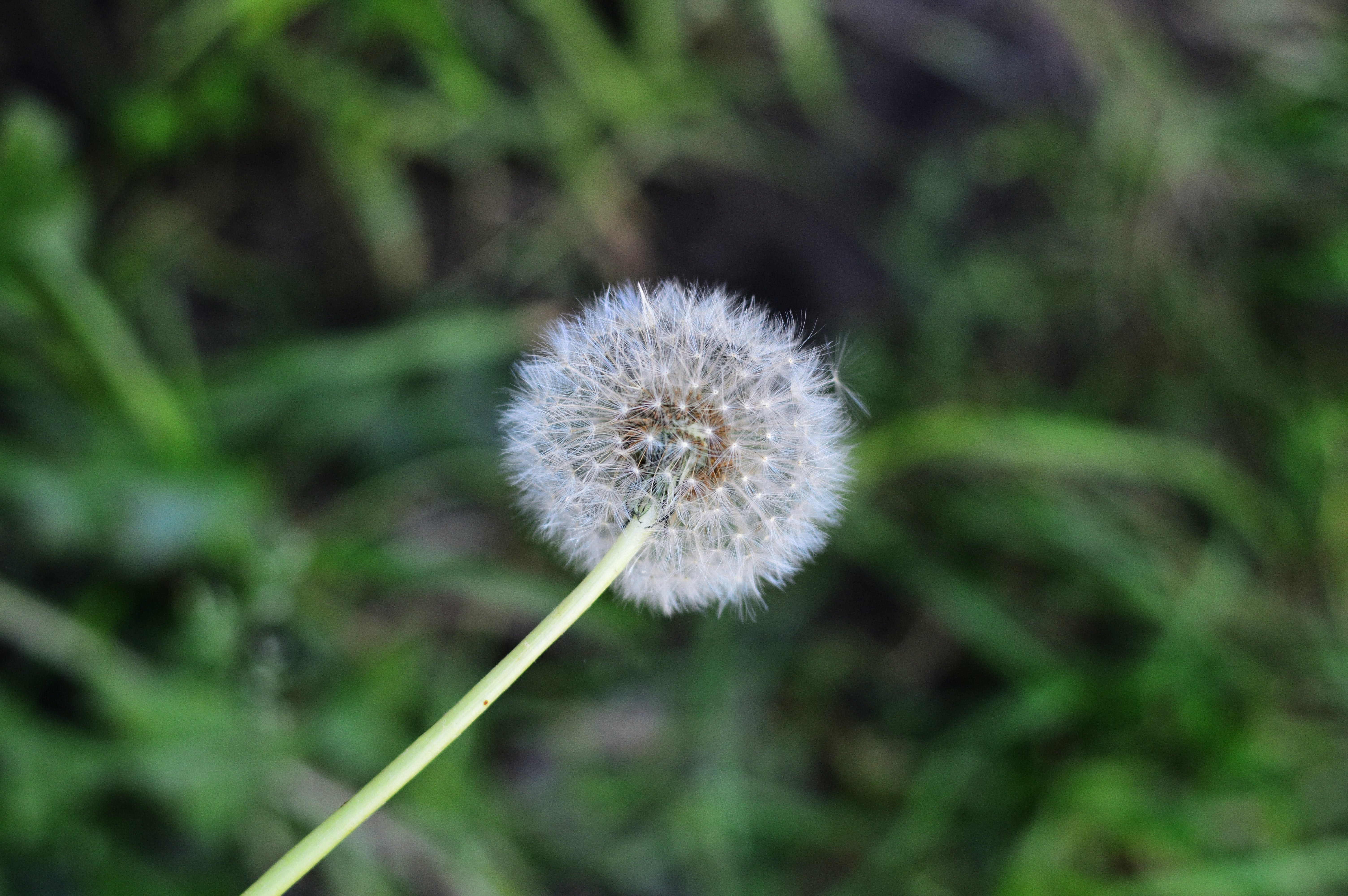 Free stock photo of beauty, closeup, dandelion, dandelion seed