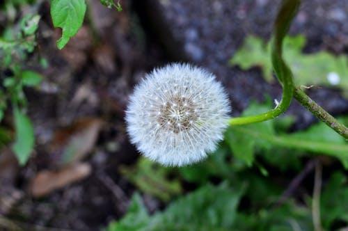 Foto stok gratis alam, benih, biji dandelion, bunga
