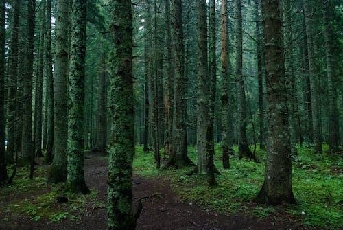 冷杉, 原本, 天性, 小路 的 免费素材照片