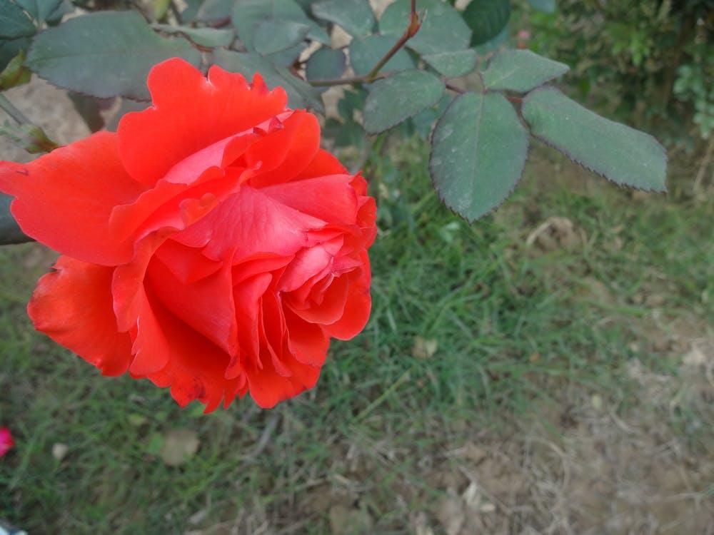 Fotobanka sbezplatnými fotkami na tému červená, kvet, ruža