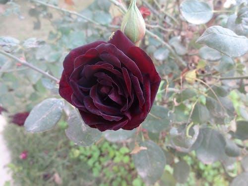 Free stock photo of flower, maroon