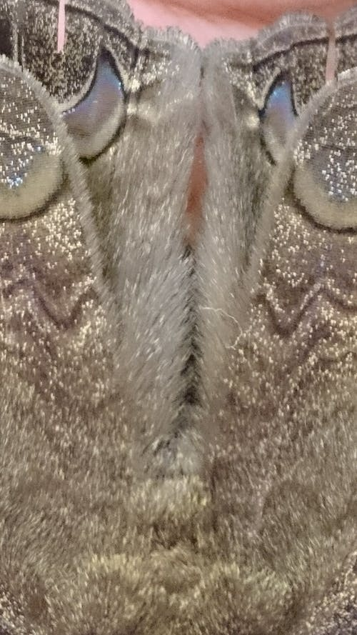 Free stock photo of moth, texture, wing