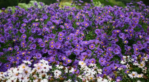 White and Purple Petaled Flowers at Daytime