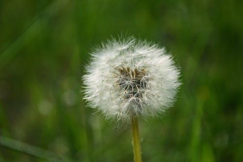 Ảnh lưu trữ miễn phí về bồ công anh, cận cảnh, cánh đồng, cỏ