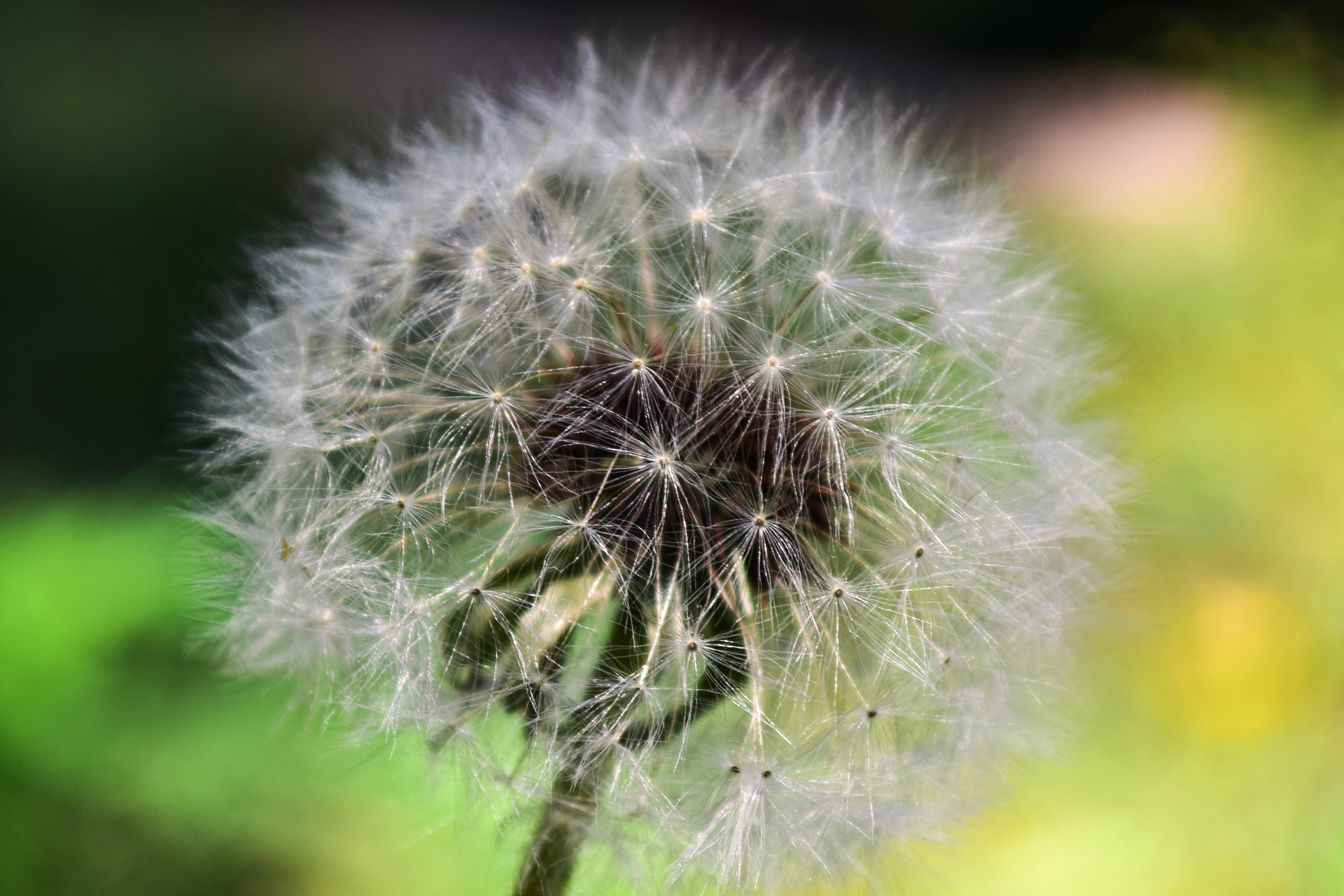 Dandelion Close Up Photography