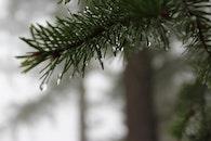 forest, pine tree, pineneedles