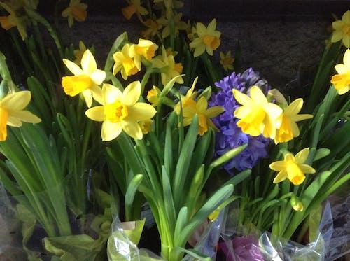 Free stock photo of daffodil, flowers spring hyacinth, yellow daffodils