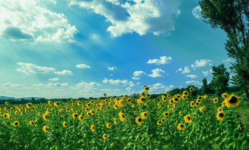 Yellow Sunflower Field Under Blue and White Sky