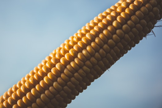 Corn With Blue Sky during Daytime
