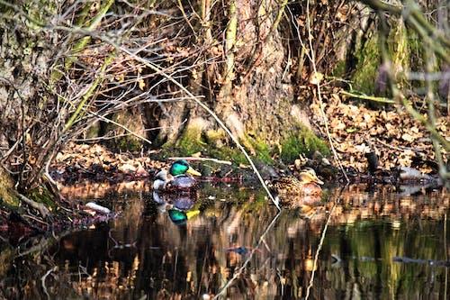 Foto d'estoc gratuïta de amor, ànec, ànecs, aus aquàtiques