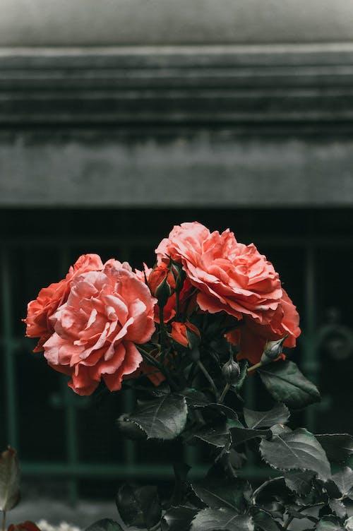 Gratis lagerfoto af blade, blomster, blomsterknopper, blomstrende