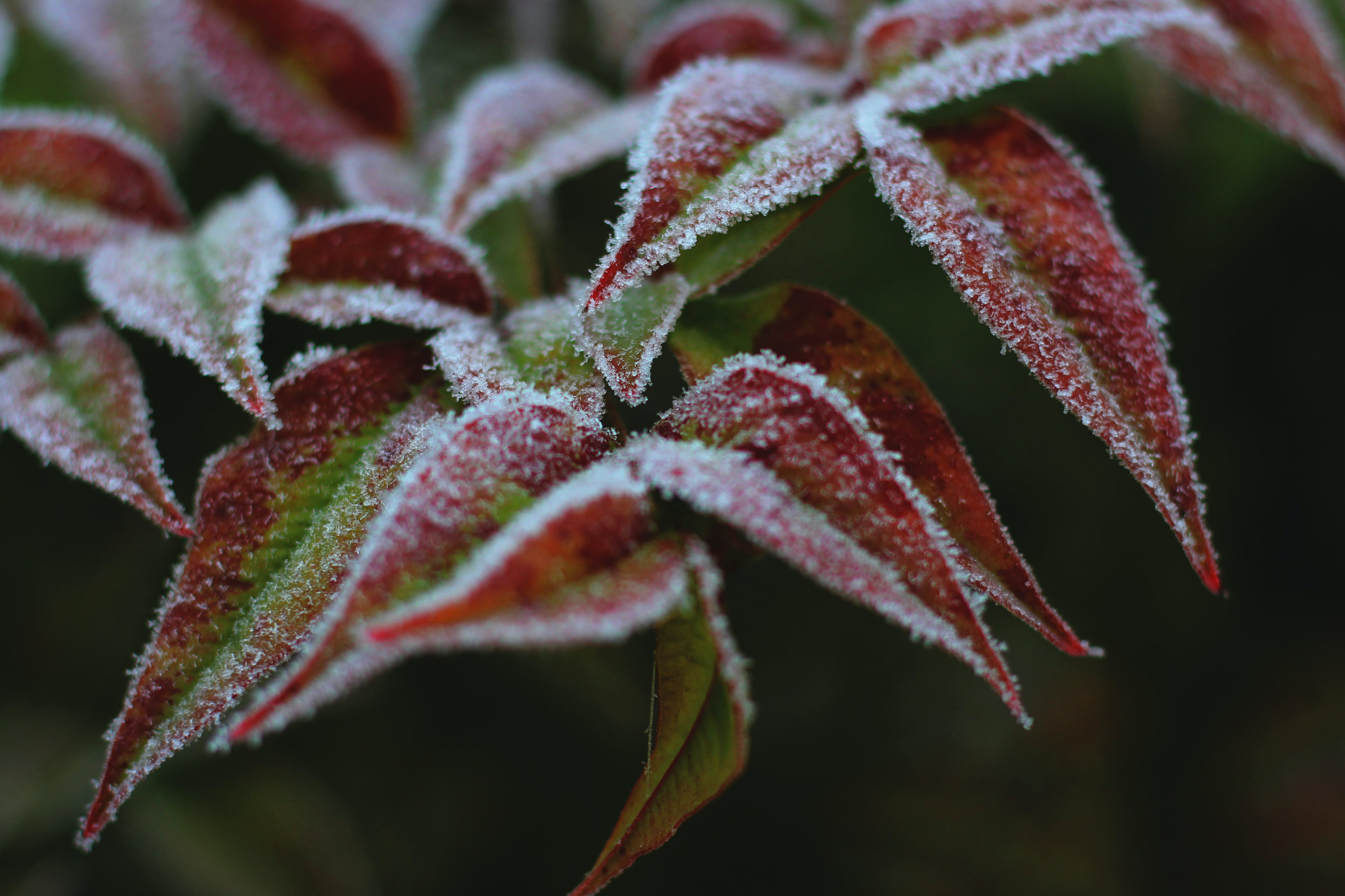 Free stock photo of garden plant, ice, red