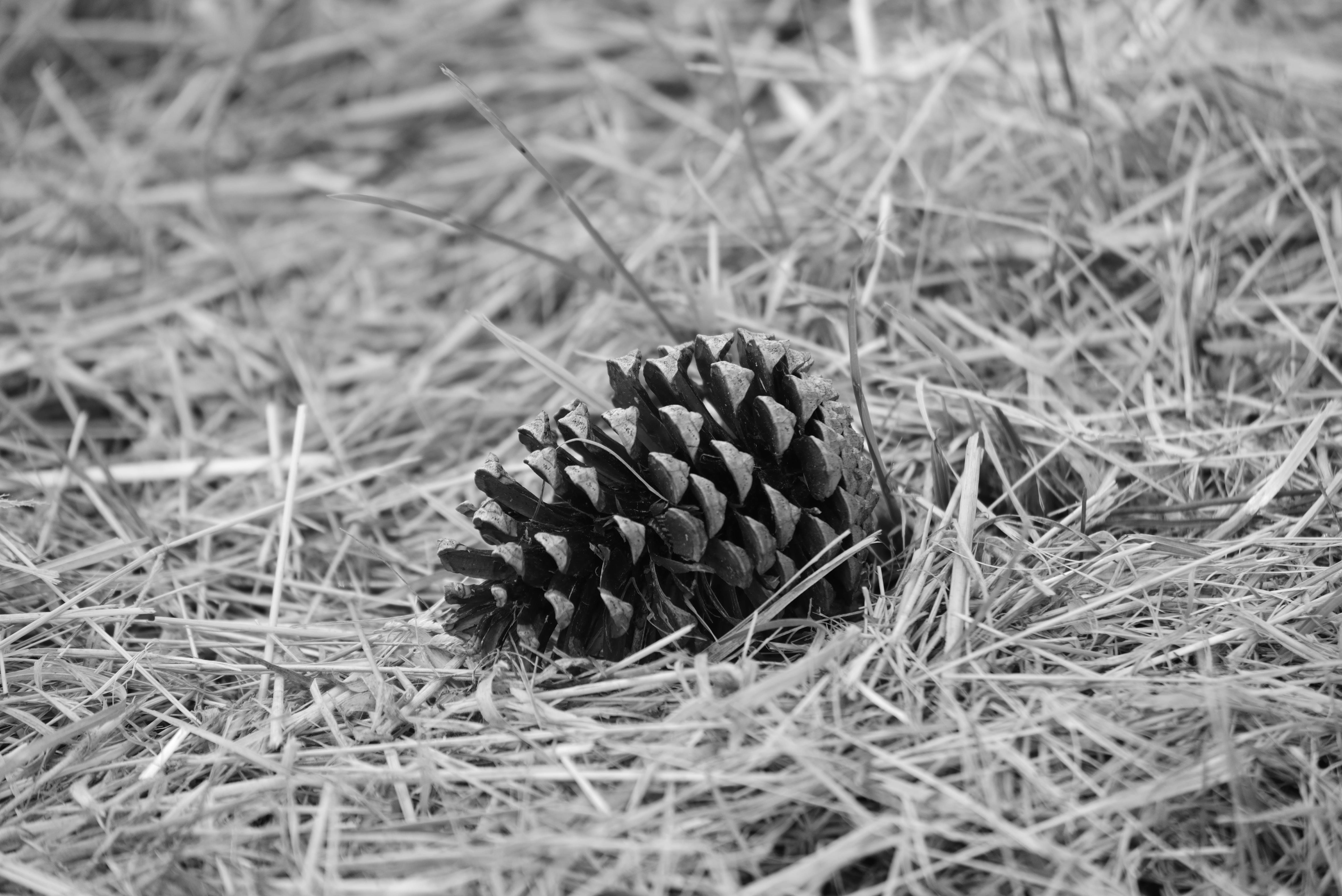 Free stock photo of arbre, comestible, cone, herbe