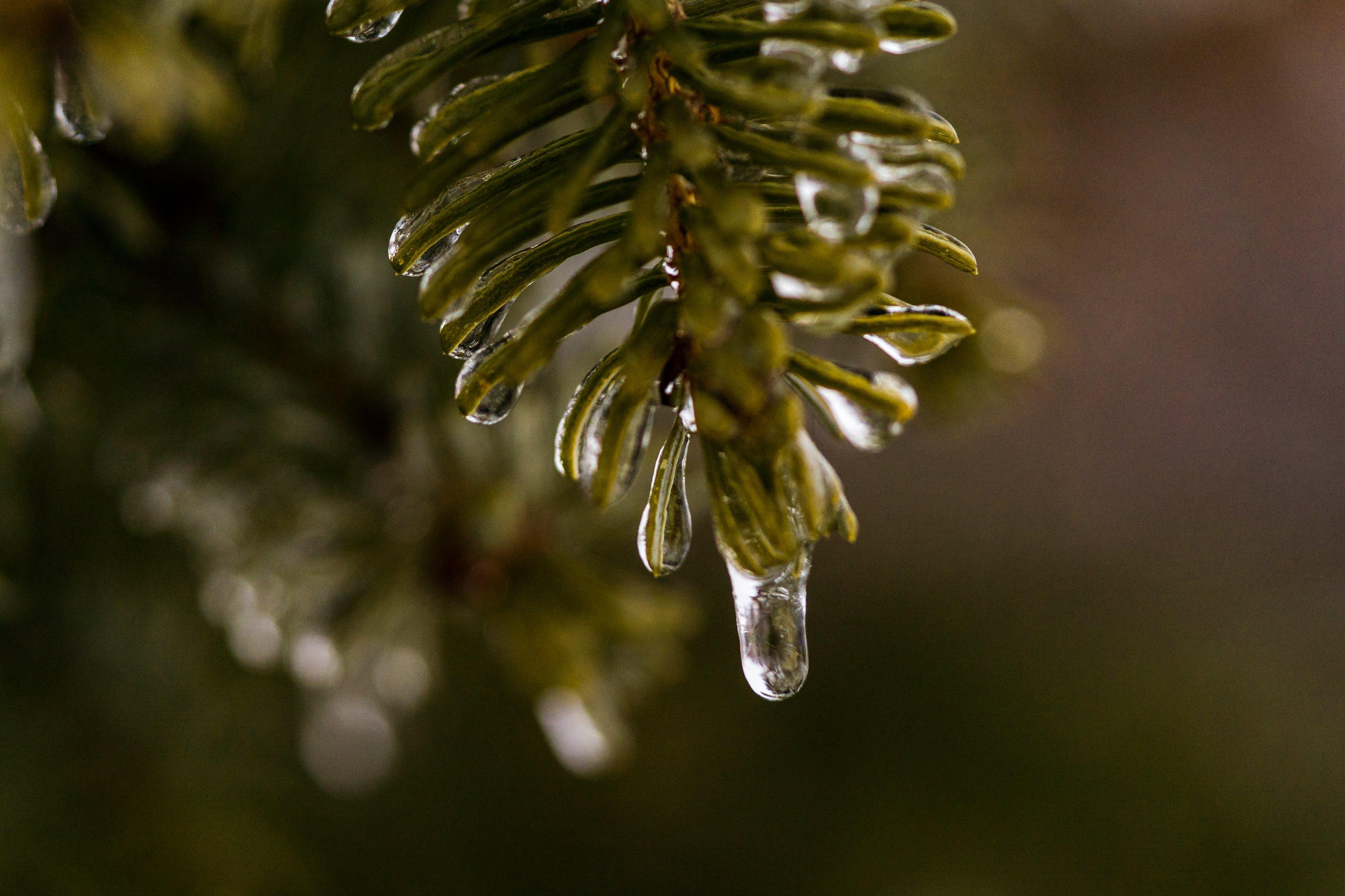 Základová fotografie zdarma na téma borové jehly, borovice, detailní záběr, kapání