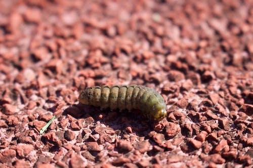 毛蟲, 漂亮, 特寫, 田 的 免費圖庫相片