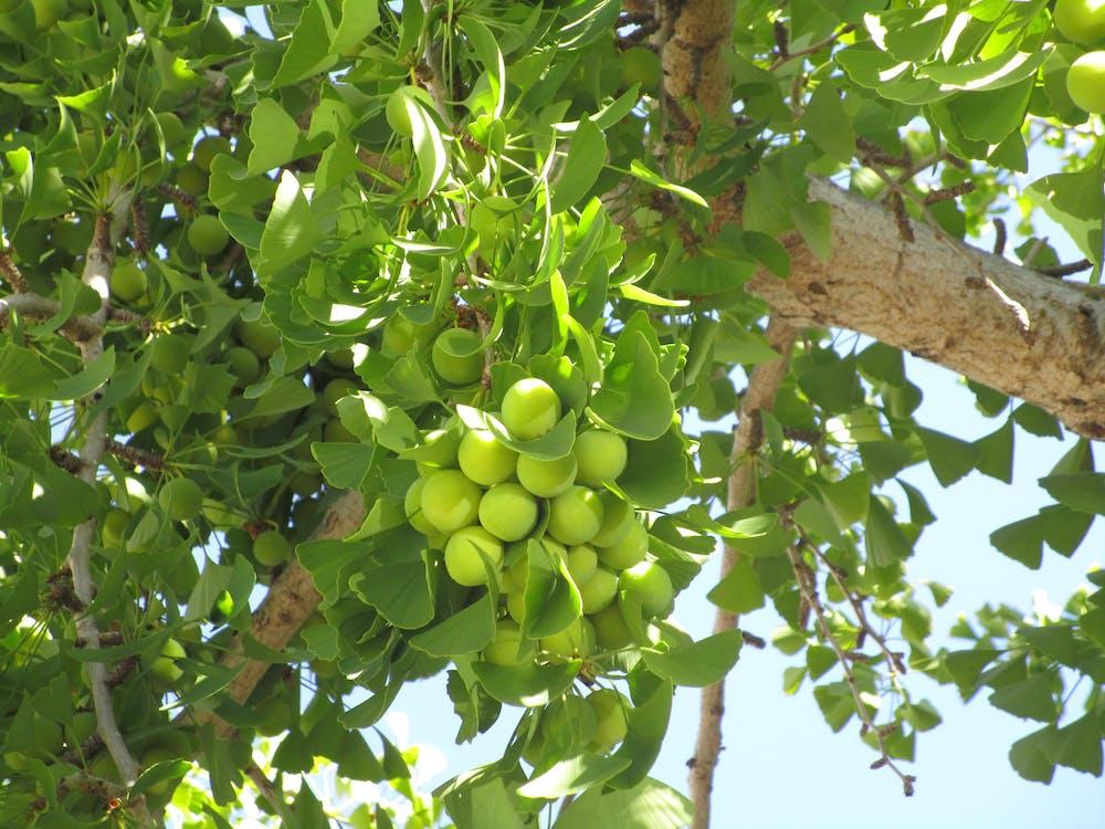 ginkgo fruit tree green blue sky