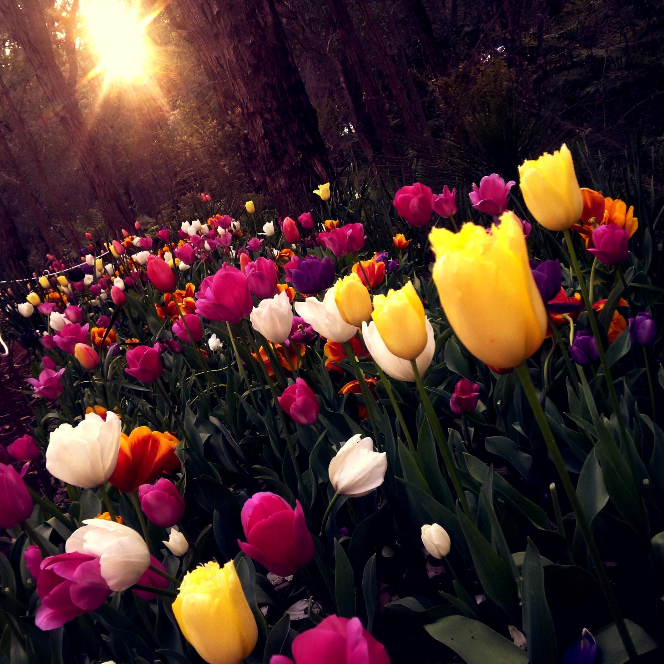 Yellow and White Tulips Field