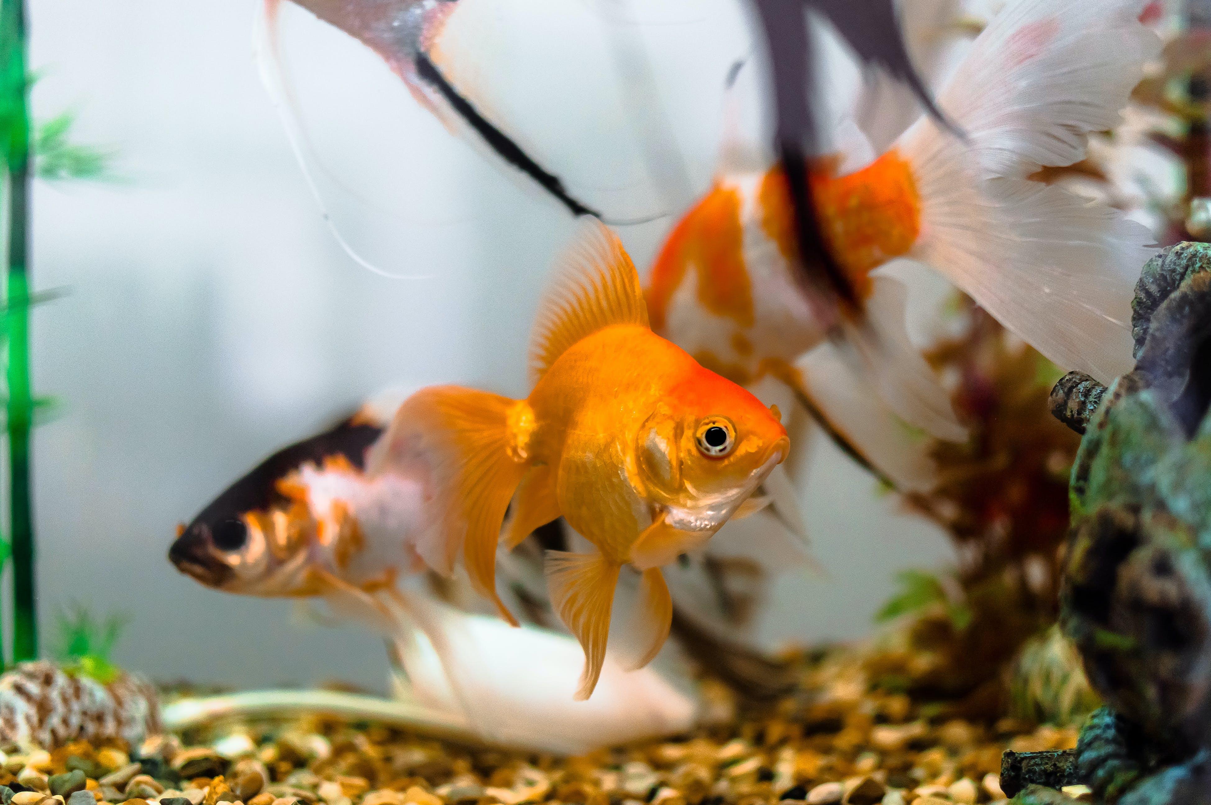 Free stock photo of acuarios, aquariums, água, bailarines