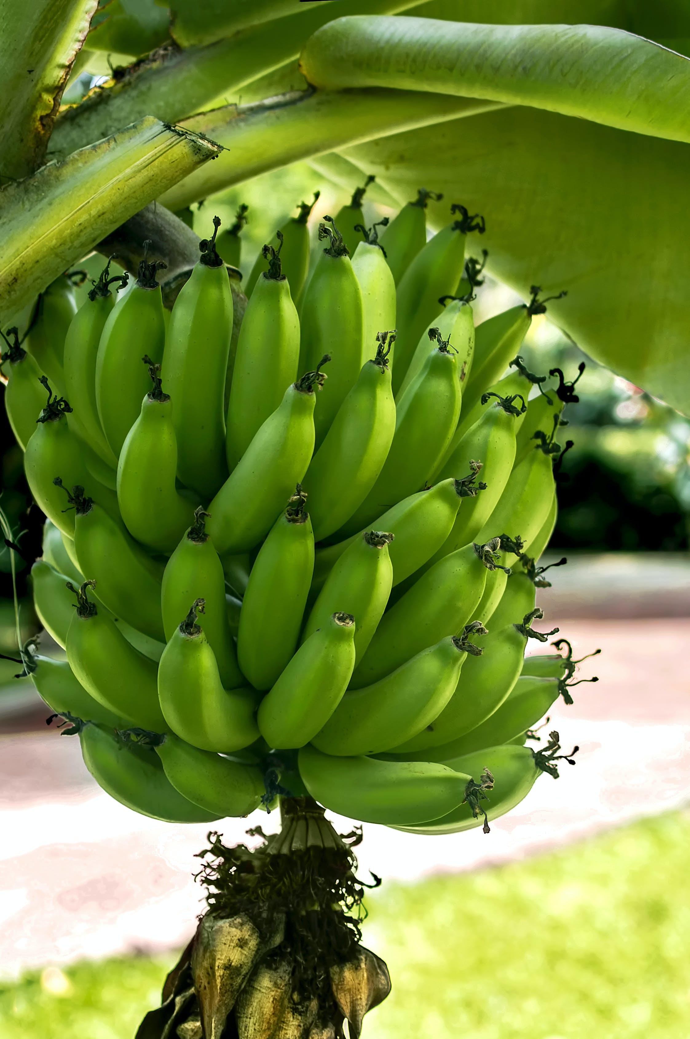 Free stock photo of bananas, bananos, colombia, Colombian