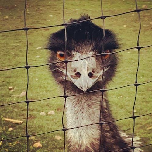 Foto stok gratis emu