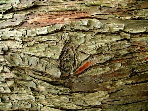 Free stock photo of Tree skin