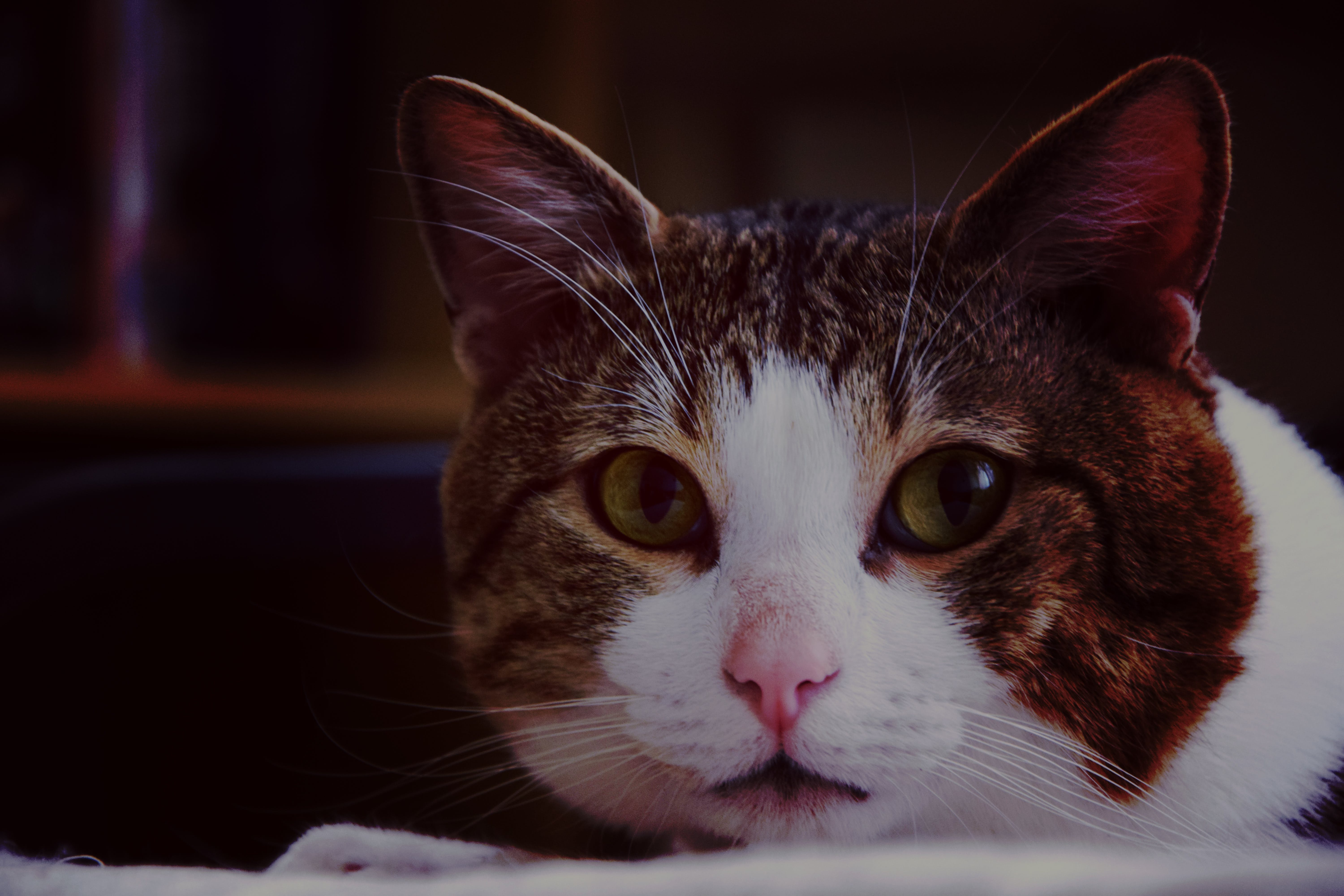 Brown White Gray Cat in Close Up Photography