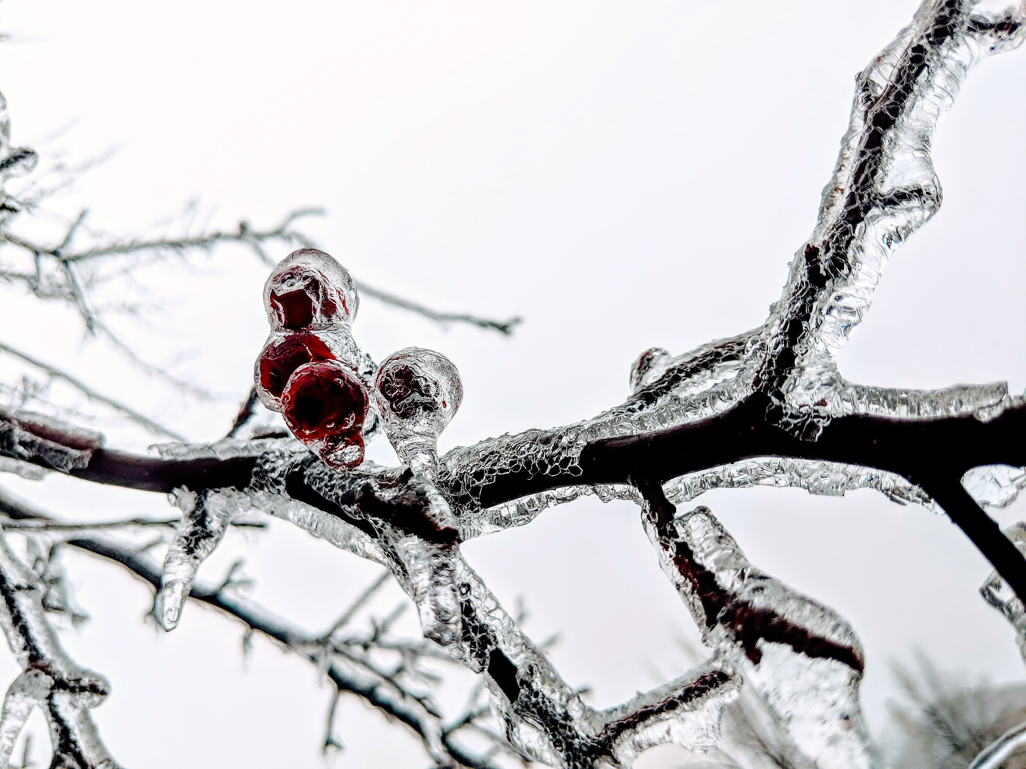 Free stock photo of Frozen berries, frozen branches, icy branches, snow branches