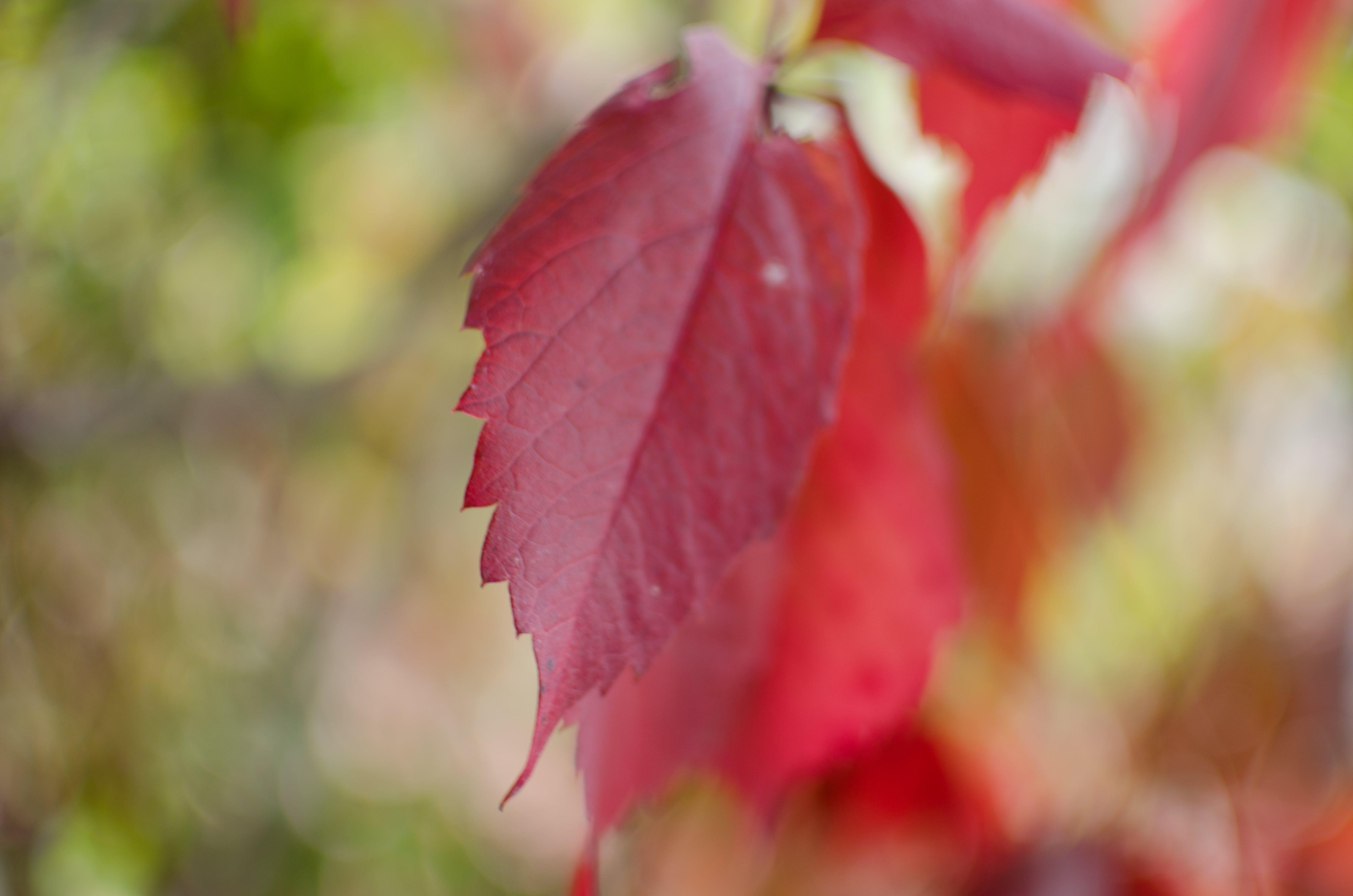 Free stock photo of leaf, autumn, fall, bokeh