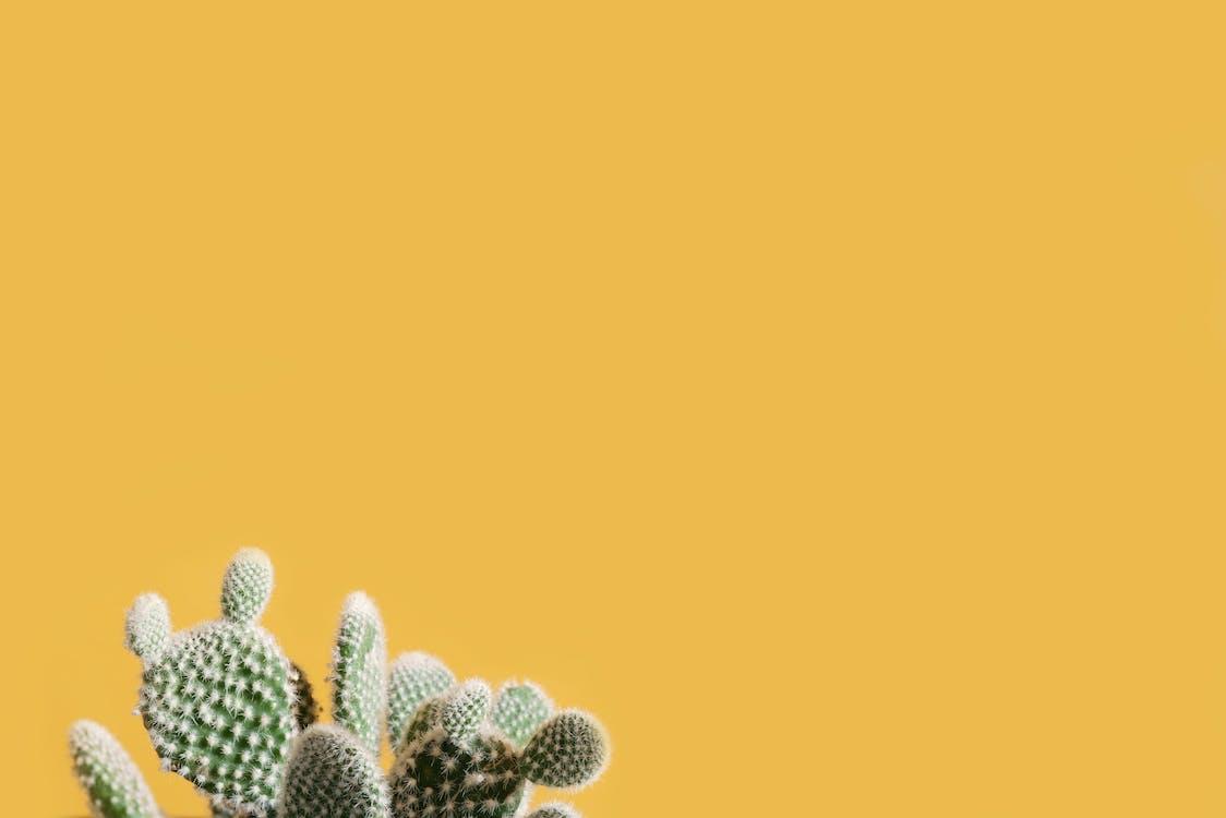 kaktus, kaktuser, stikkende