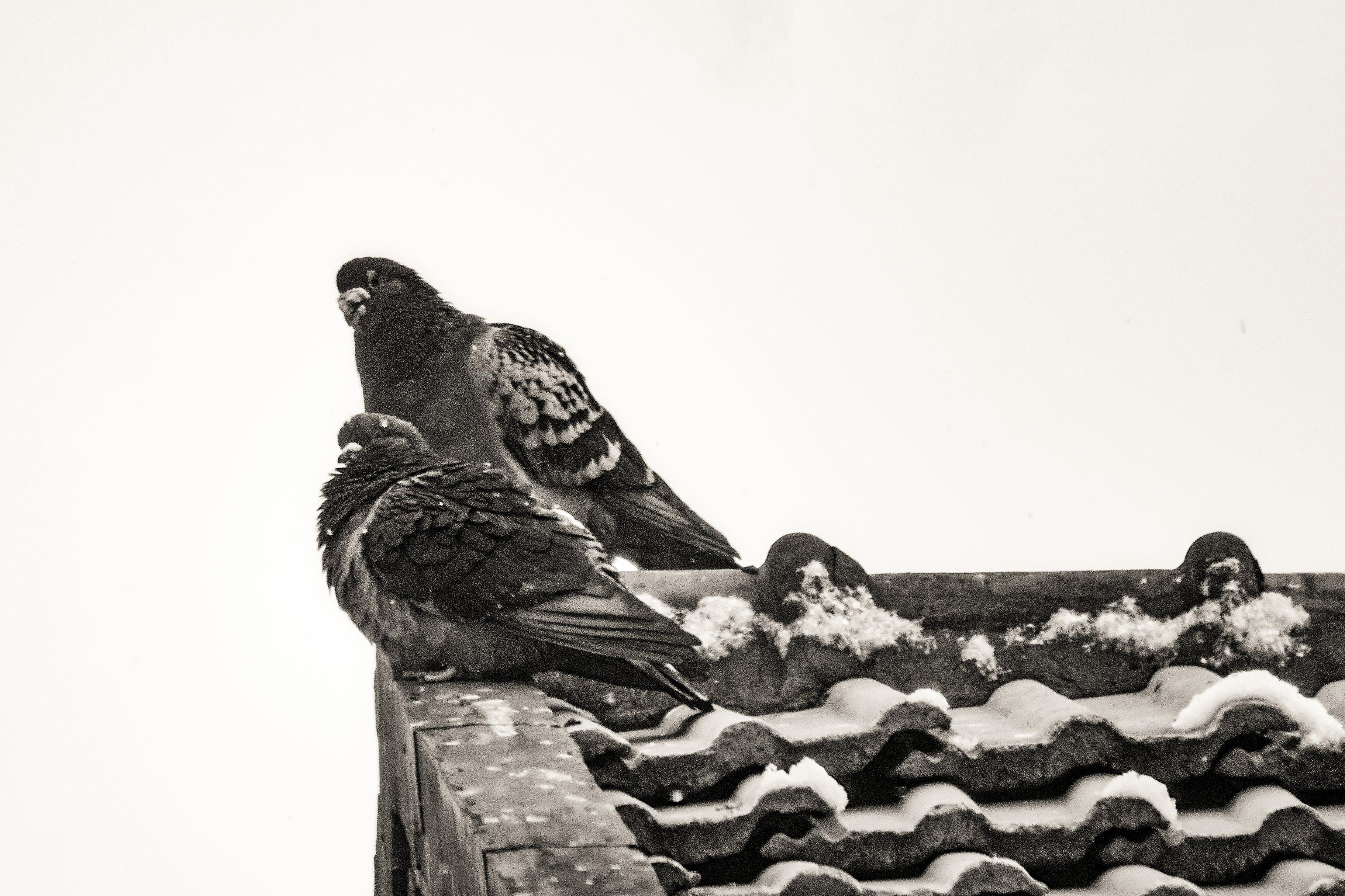 Kostenloses Stock Foto zu 动物, 北京, 屋檐, 鸽子