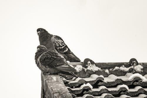 Безкоштовне стокове фото на тему «动物, 北京, 屋檐, 鸽子»
