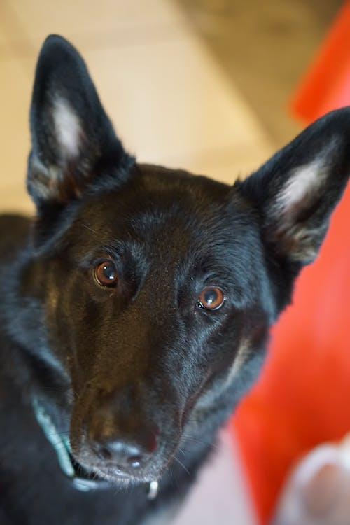 Foto profissional grátis de cachorro, negro, pastor alemão