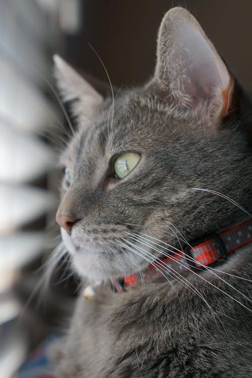 Ilmainen kuvapankkikuva tunnisteilla harmaa, kissa, tabby, vihreät silmät